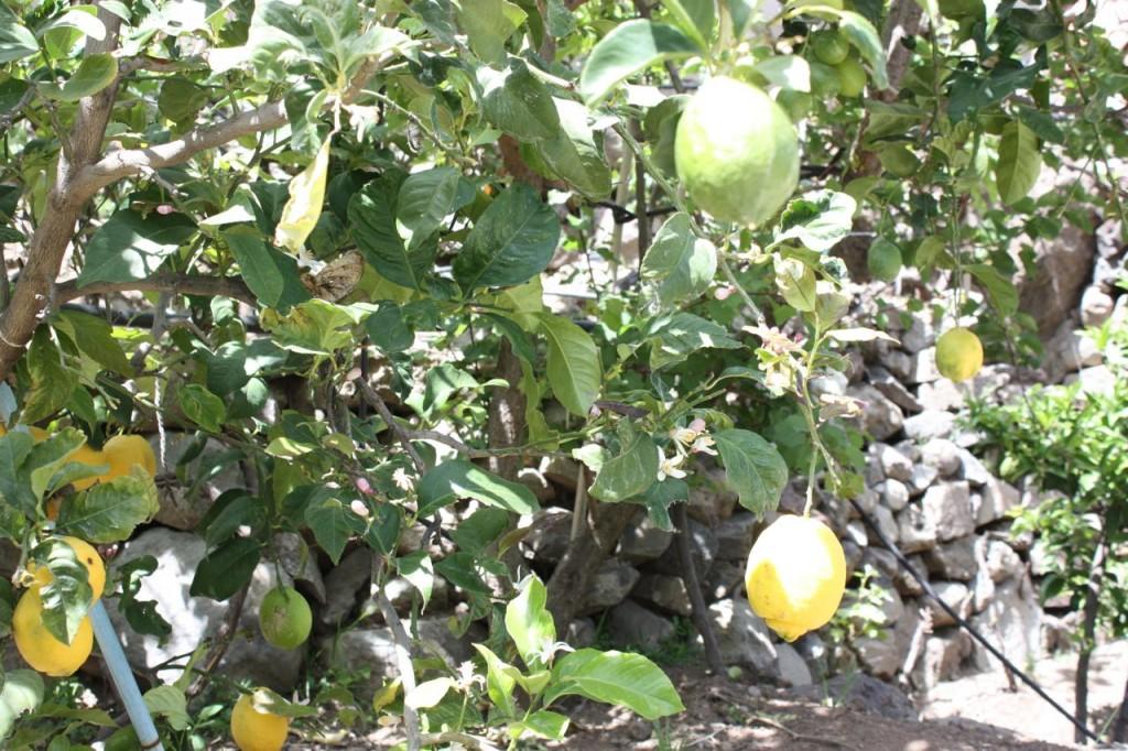 Små citroner gula.