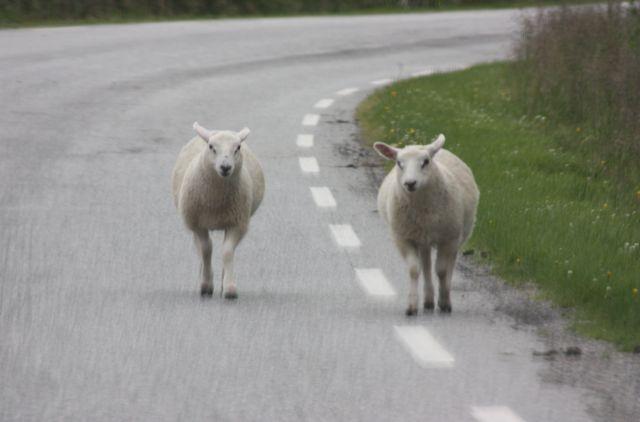Norska sauer följer oss på vägen.