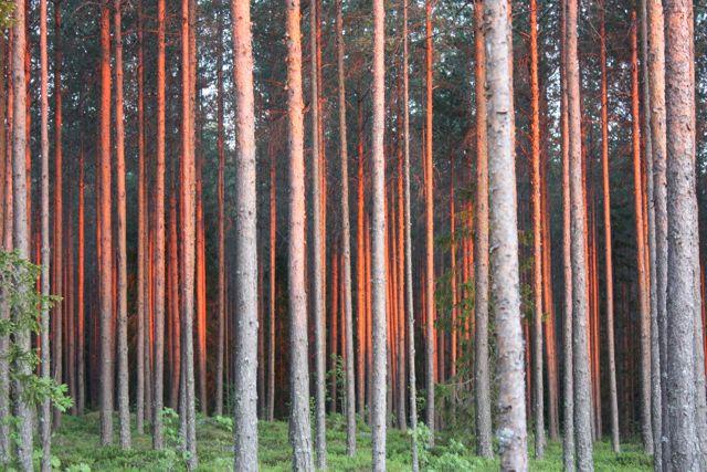 Skogen står i lågor.
